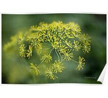 Dill Flower Lace (Anethum graveolens) Poster