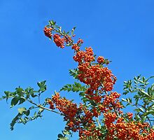 Reach for the sky! Profusion of Berries by MidnightMelody