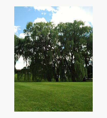 Weeping Willow Trees Photo Photographic Print