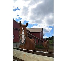 Amish Draft Horses Photographic Print