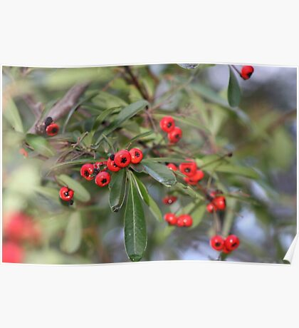 Pyrocanthus Berries Poster