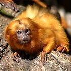 Golden-Lion Tamarin by Chris  Randall