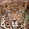Leopards, Cheetahs, Jaguars & Panthers - Oh, My!
