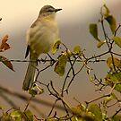 Mockingbird by NatureGreeting Cards ©ccwri