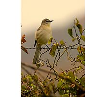 Mockingbird Photographic Print