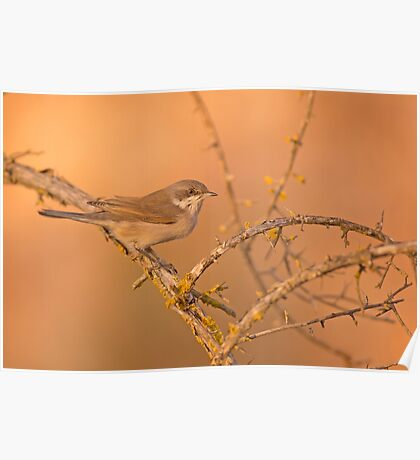 Male lesser whitethroat (Sylvia curruca) Poster