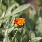 Orange Geum by AnnDixon
