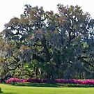 Airlie Oak In The Spring by Cynthia48