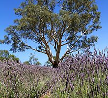 Gum tree among the lavender by jwwallace