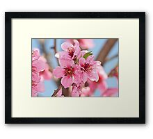 peach flowers close-up Framed Print