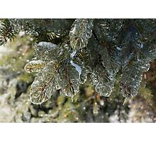Mother Nature's Christmas Decorations - Pine Branches Photographic Print