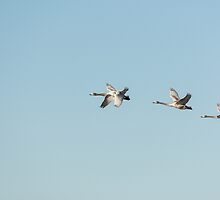 Whooper swan family flying by Susanna Hietanen