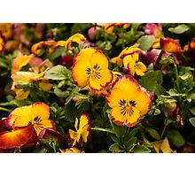 Yellow Pansies Photographic Print