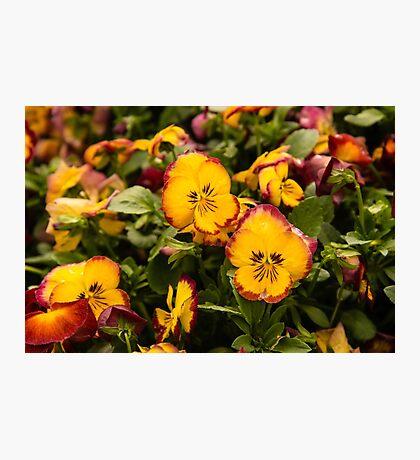 Yellow Pansies Photographic Print