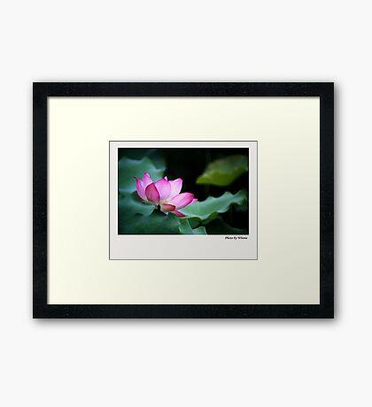 Water Lily by Winnie Framed Print
