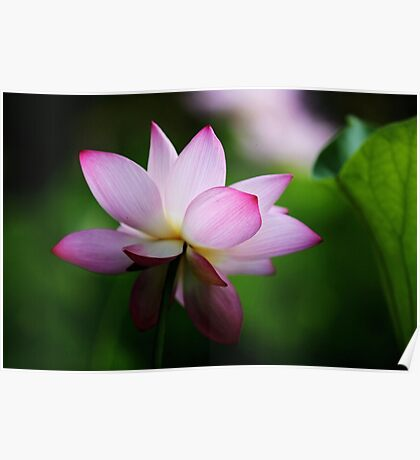 Water Lily by Winnie Poster