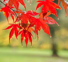 Red acer leaves in the rain by Judi Lion