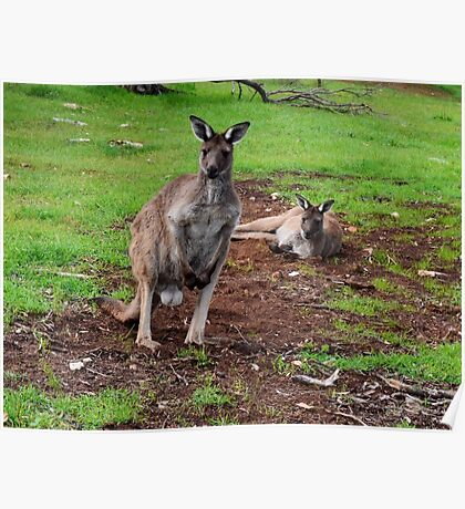 Kangaroos, Whats up Down Under Poster