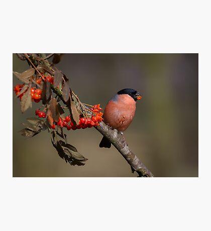 Bullfinch eating berries Photographic Print