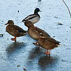 ICE COLD for THE DUCKS by Marilyn Grimble