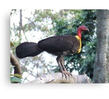 Australian Brushturkey Canvas Print