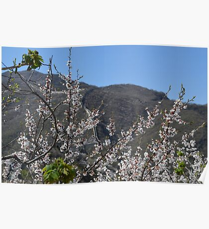 Cherry Blossoms at Great Wall of China Poster