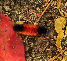 Woolly Bear Caterpillar by SRowe Art