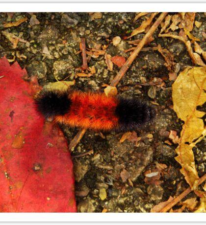 Woolly Bear Caterpillar Sticker