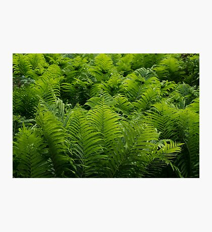 Graceful Ferns in More Than Fifty Shades Of Green Photographic Print