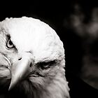 Bald Eagle by Beth Wold