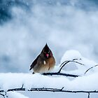 Winter Cardinals by mcstory