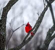 Cardinal In A Snow Storm by mcstory