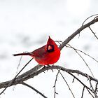 Cardinal On A Branch  by mcstory