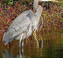Grey Heron Watching and Waiting   (1404118139VA) by photroen