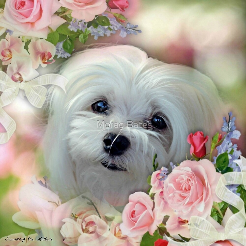 Snowdrop the Maltese - The Face that Melts my Heart by Morag Bates