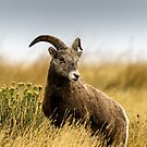 Portrait of a Bighorn - (Ovis condenses) by mcstory