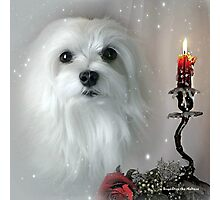 Snowdrop the Maltese - The Light in my Life ! Photographic Print