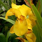 Yellow beauty  Tasmania Australia by Sandra  Sengstock-Miller