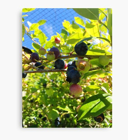 Blueberries On The Bush Canvas Print
