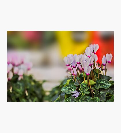 Cyclamen flowers background. Photographic Print