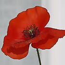 Poppy  by AnnDixon