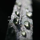 Dew drops by AnnaKT