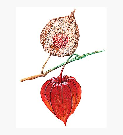 Watercolor physalis Photographic Print