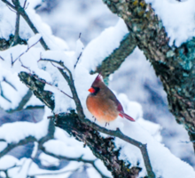 Female Cardinal In Snowy Tree Sticker