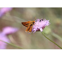 Skipper Butterfly  Photographic Print