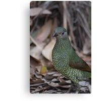 Female Bower Bird Canvas Print