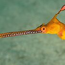 Weedy Seadragon - Phyllopteryx taeniolatus by Andrew Trevor-Jones