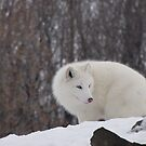 Inquisitive Arctic Fox by caybeach