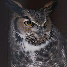 Great Horned Owl  by caybeach