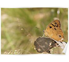Shouldered Brown Butterfly Poster